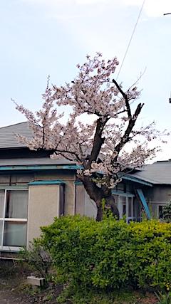 20170420山からの帰り道の様子桜の花