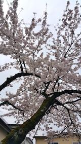 20170422朝近所の桜を楽しむ1
