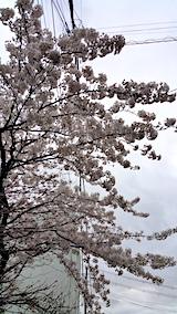 20170422朝近所の桜を楽しむ2