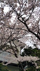 20170422朝近所の桜を楽しむ3