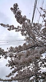 20170422朝近所の桜を楽しむ4