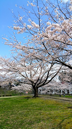 20170422一つ森公園の桜1