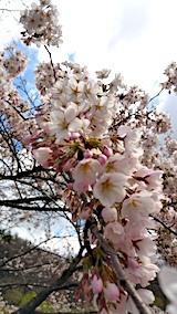 20170422一つ森公園の桜4