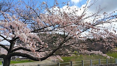 20170422一つ森公園の桜3