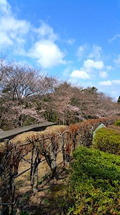 20170422一つ森公園の桜7