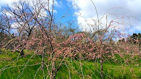 20170422山の様子八重紅枝垂れ桜の花1