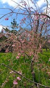 20170422山の様子八重紅枝垂れ桜の花