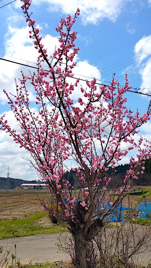 20170422山の入り口の様子花梅の花