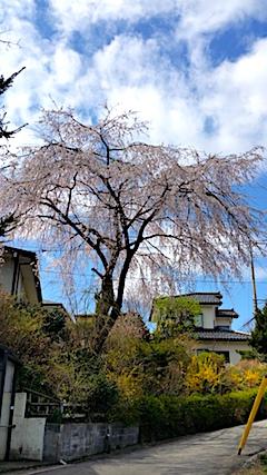 20170422山からの帰り道の途中枝垂れ桜1
