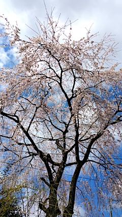20170422山からの帰り道の途中枝垂れ桜2