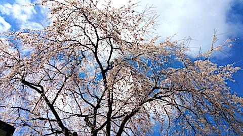20170422山からの帰り道の途中枝垂れ桜3