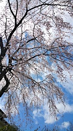 20170422山からの帰り道の途中枝垂れ桜4