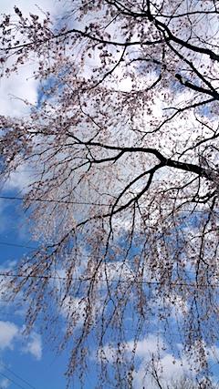 20170422山からの帰り道の途中枝垂れ桜5