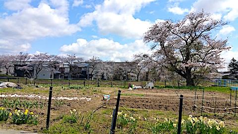 20170422山からの帰り道の途中太平川沿いの桜