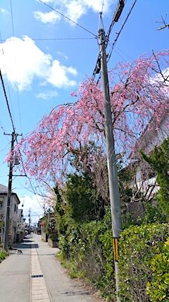 20170422山からの帰り道の途中枝垂れ桜6