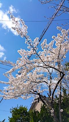 20170422山からの帰り道の途中桜の花