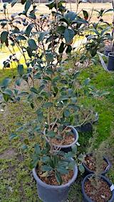 20170422鉢植えのキンモクセイ土の入れ替え1