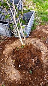 20170422鉢植えのキンモクセイ土の入れ替え2