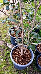 20170422鉢植えのキンモクセイ土の入れ替え3