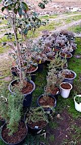 20170422鉢植えのラベンダー土の入れ替え2