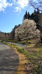 20170423山へ向かう途中の様子峠道コブシの花