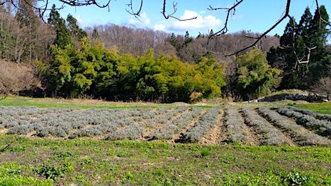20170423ラベンダー畑の様子1
