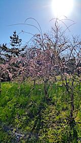 20170423八重紅枝垂れ桜の花