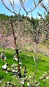 20170423花桃と八重紅枝垂れ桜の花