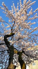 20170424外の様子桜1