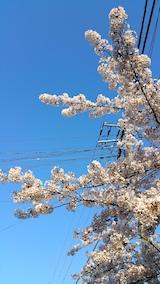 20170424外の様子桜3