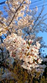 20170424外の様子桜4