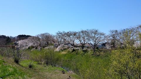 20170424太平川沿いの桜広面大橋1