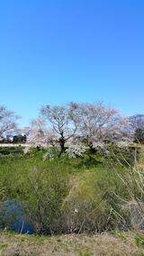 20170424太平川沿いの桜広面大橋2