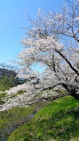 20170424太平川沿いの桜桜大橋1