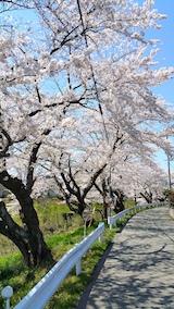 20170424太平川沿いの桜桜大橋2
