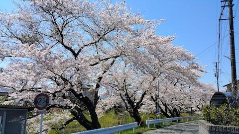 20170424太平川沿いの桜桜大橋3