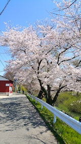 20170424太平川沿いの桜桜大橋6