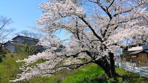 20170424太平川沿いの桜桜大橋4