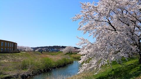 20170424太平川沿いの桜大袋排水樋門