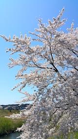 20170424太平川沿いの桜二ツ屋橋2