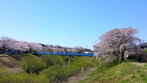 20170424太平川沿いの桜二ツ屋橋1