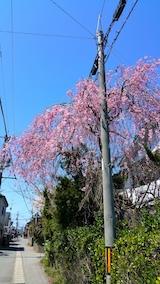 20170424太平川沿いの桜広面の枝垂れ桜1