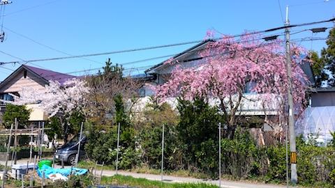 20170424太平川沿いの桜広面の枝垂れ桜2