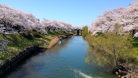 20170424太平川沿いの桜百石橋2