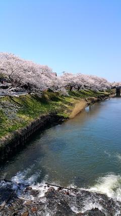 20170424太平川沿いの桜百石橋3