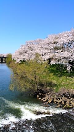 20170424太平川沿いの桜百石橋4