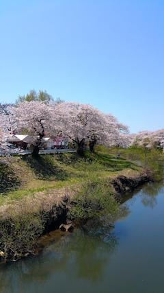 20170424太平川沿いの桜愛宕下橋1