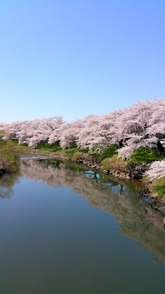 20170424太平川沿いの桜愛宕下橋2