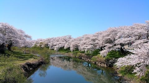 20170424太平川沿いの桜愛宕下橋3