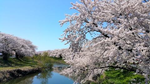 20170424太平川沿いの桜愛宕下橋4